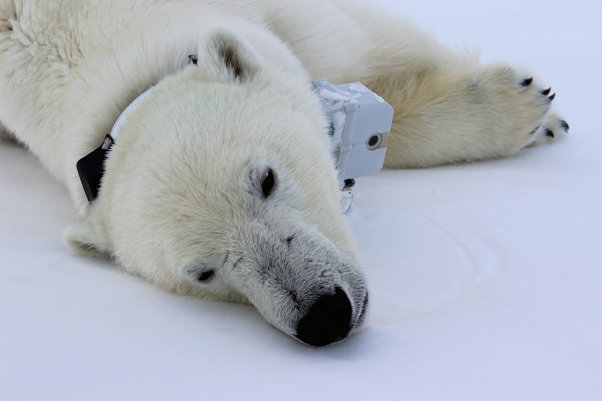 Polar bears go hungry as the Arctic ice melts