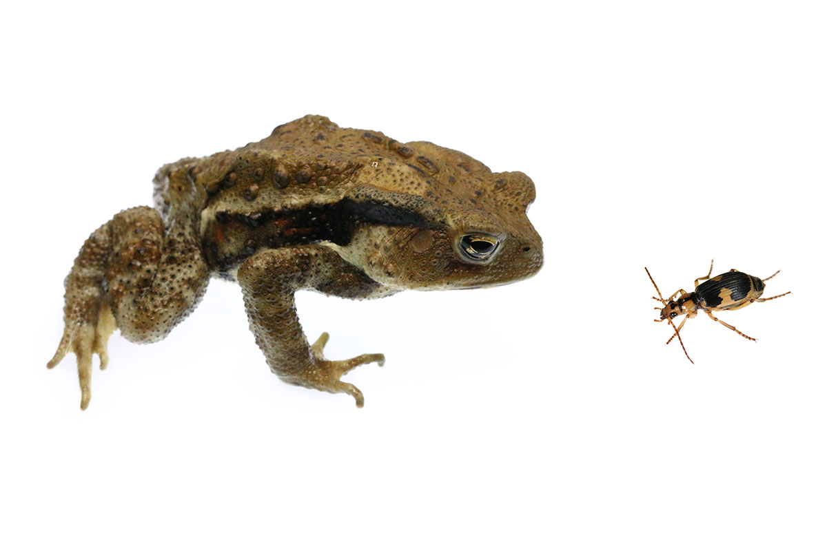 Die another day: watch how a beetle escapes from a toad's stomach