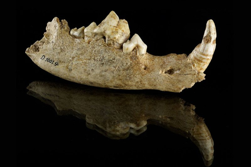 The jawbone of the Bonn-Oberkassel dog