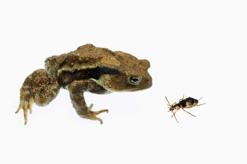 toad and beetle