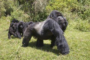 A silverback mountain gorilla (Gorilla beringei beringei) on the move