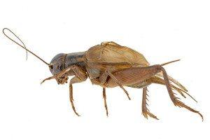 A Hawaiian cricket (Teleogryllus oceanicus)