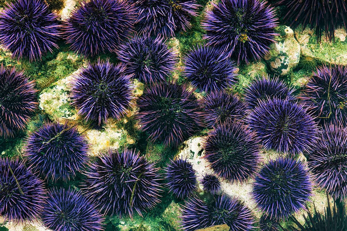 Sea urchins can drill holes in solid rock with just their teeth ...