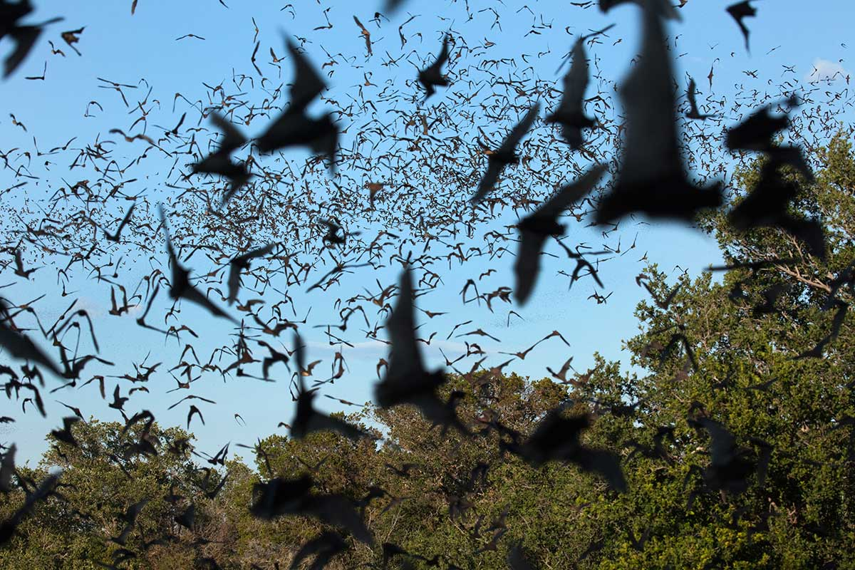Bats spread Ebola because they've evolved not to fight viruses