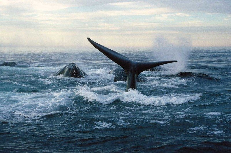 North Atlantic right whales (Eubalaena glacialis)