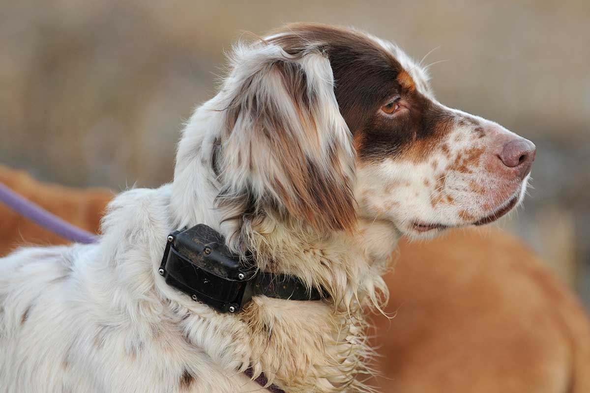 Images Of Dogs Wearing Shock Collars