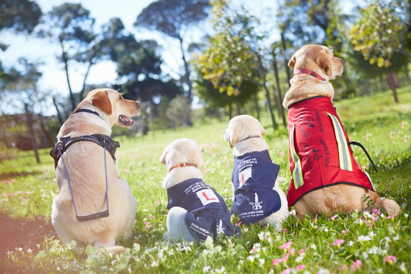 Guide dogs sitting in a field