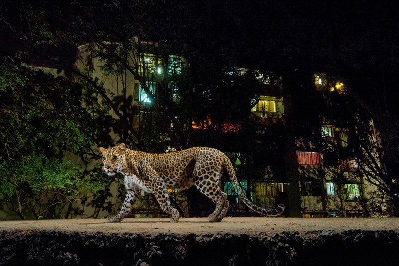 A leopard in Mumbai, India