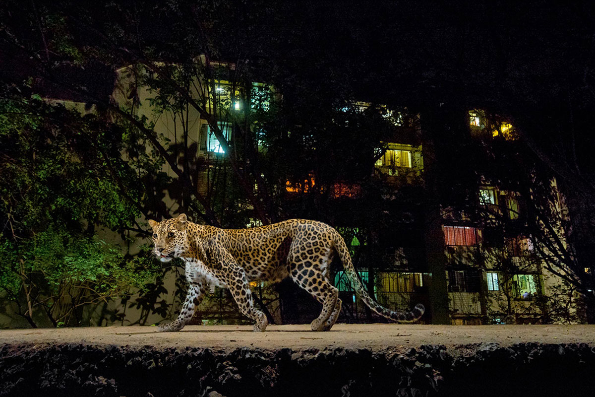 Leopards that live in cities are protecting...
