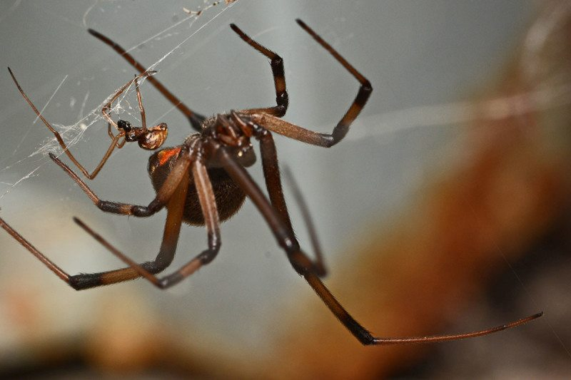 A male and female brown widow (Latrodectus geometricus)