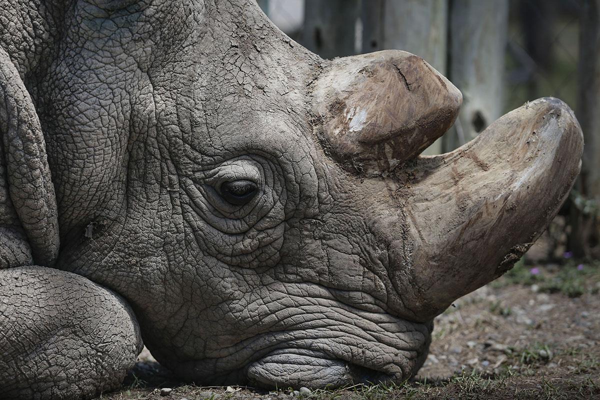 Sudan was the last male northern white rhino