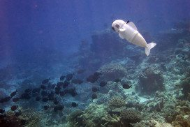 A white robotic fish swimming among coral