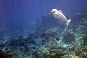 A white robotic fish swimming among coral