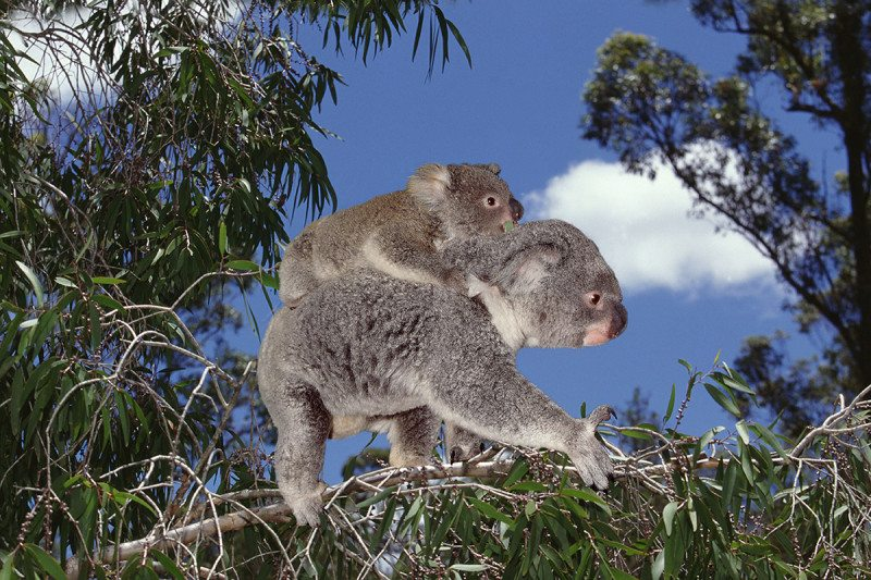 Koalas have a chlamydia problem