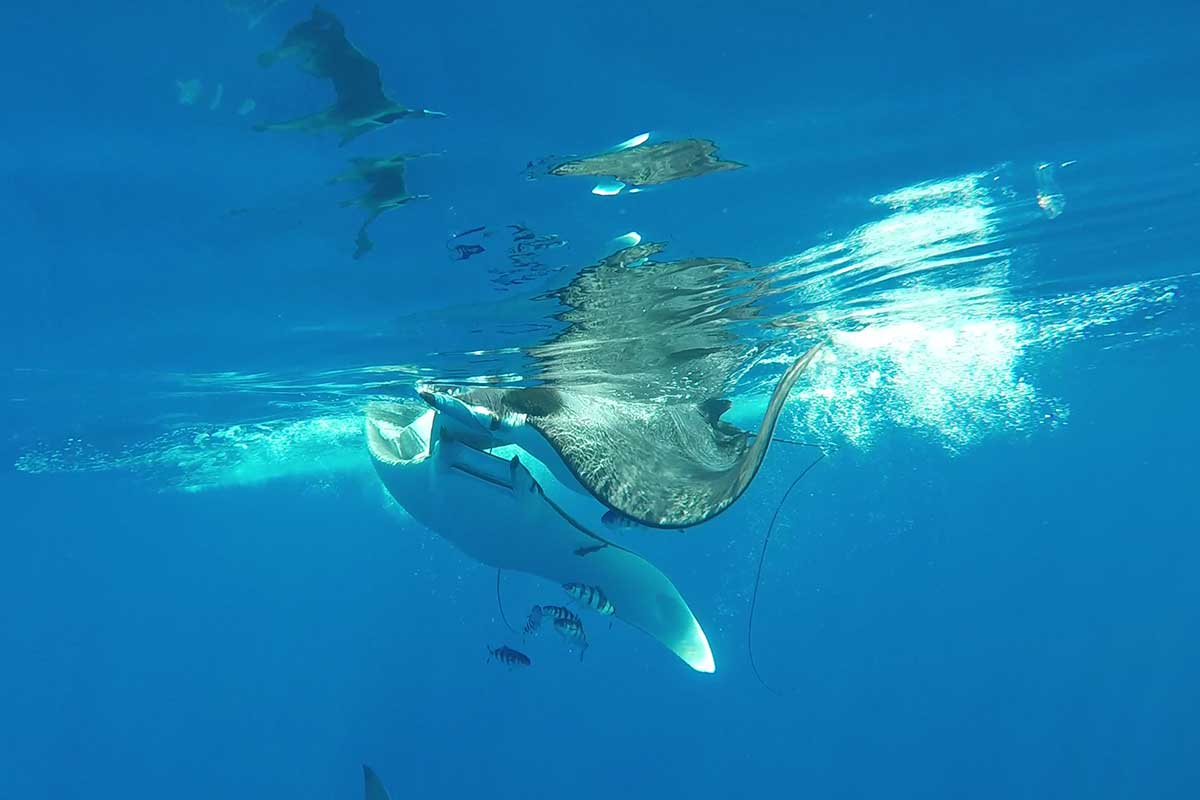 A very pregnant female ray had to fend off four courting males