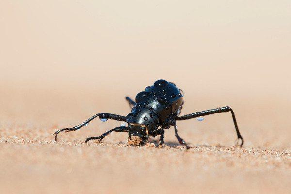 head-stander beetle