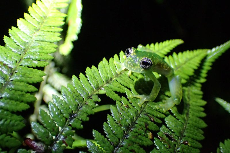 A speckled glass frog, Panama