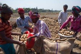 Farmers gathering potatoes in Bangladesh, a country vulnerable to food insecurity
