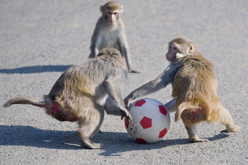 monkeys with ball