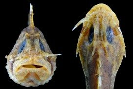 A soldierfish with its lachrymal sabre ready for combat