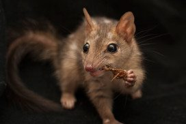 Quolls can learn new tricks, but seemingly only one at a time