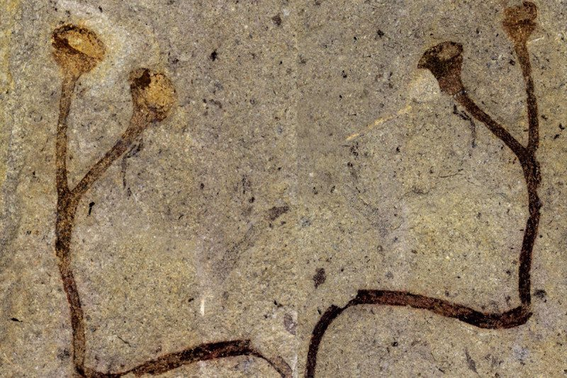 This fossil Cooksonia barrandei is 432 million years ago