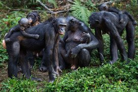 Female bonobos form strong bonds with each other