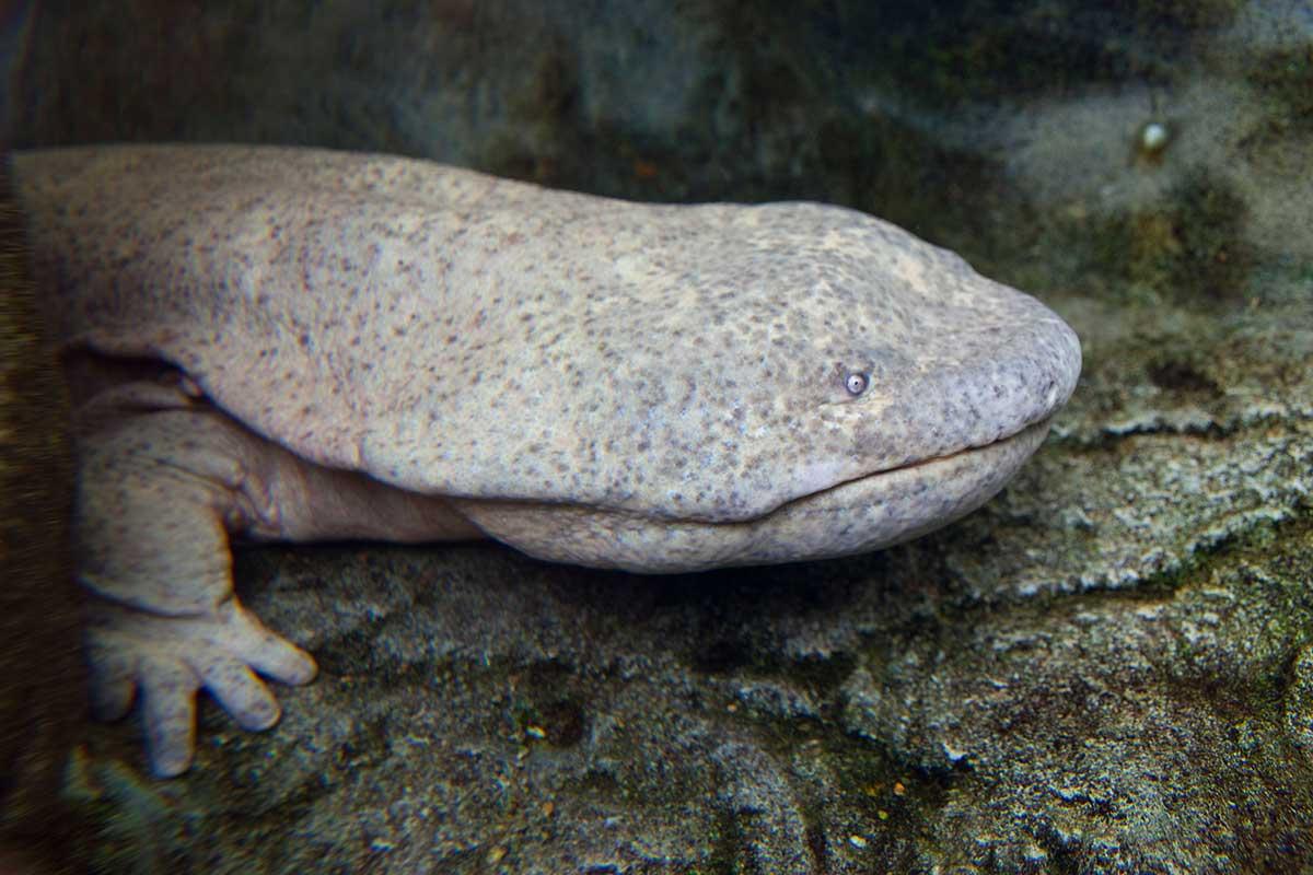 Chinese giant salamanders may already be virtually extinct