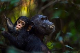 Fanni, a 30-year-old eastern chimpanzee, feeds her nine-month-old baby son Fifty