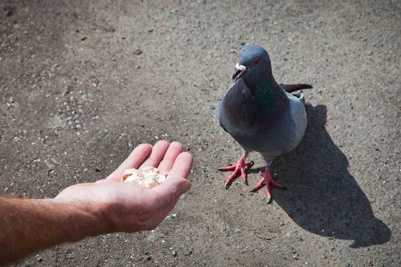 One crumb or two? Pigeons can work out their chances of getting the most food