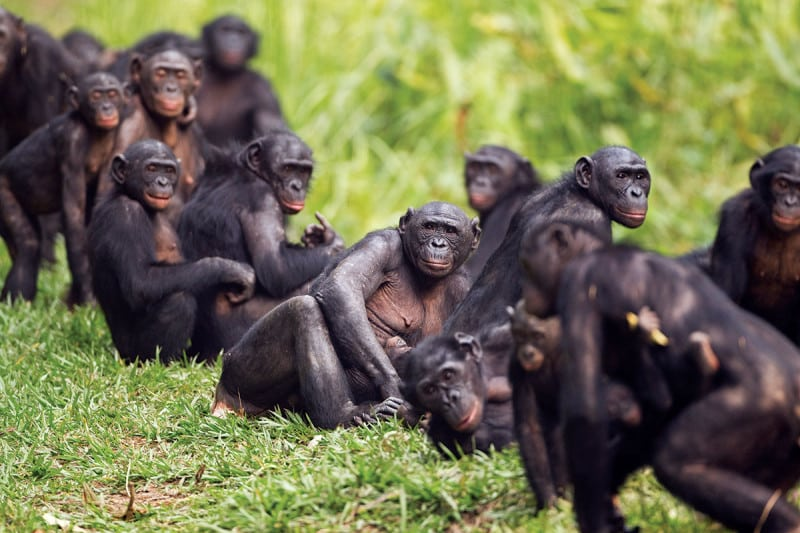 A troop of Bonobos