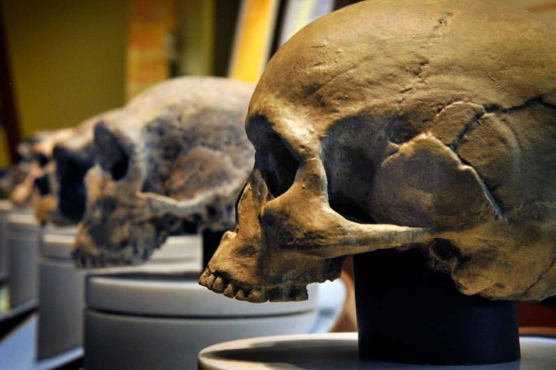 An array of early human skulls, culminating in Homo Sapiens. The gene that led to our brains s sudden growth has been found