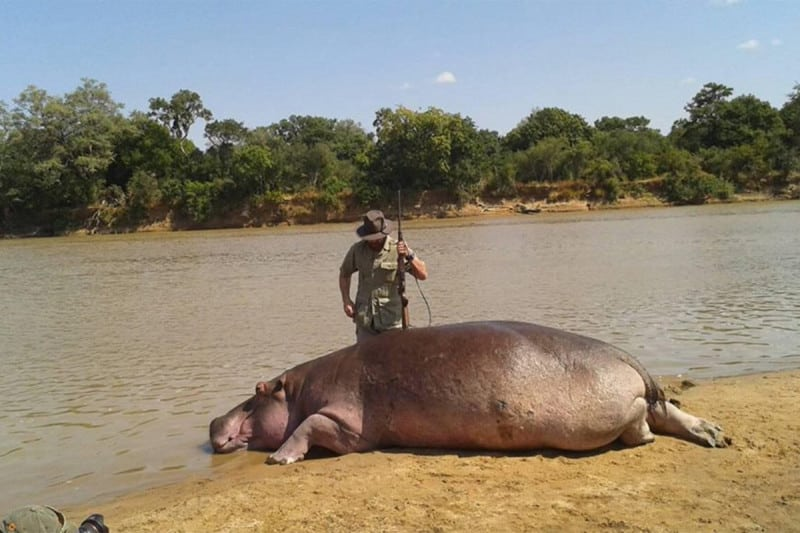 Hippos are to be culled in Zambia over the next five years