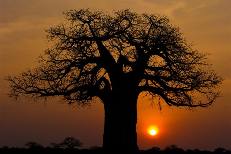 Twilight of the baobabs?