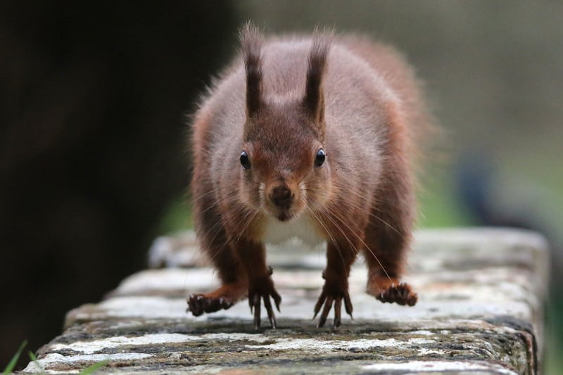 Red squirrels face competition from imported grey squirrels