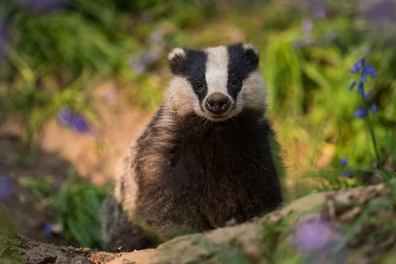 Rise of the badgers