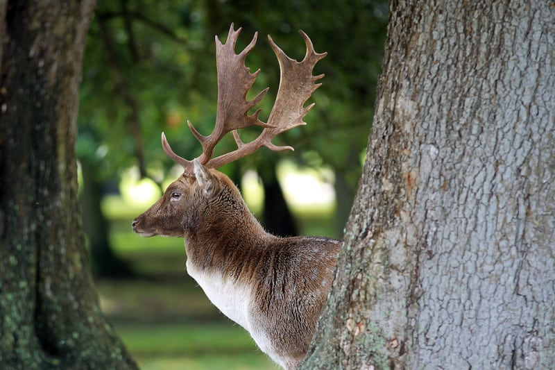 There are no large predators in the UK that could hunt deer