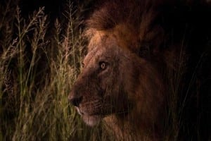 Lions are increasingly active at night in areas where people are present