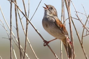 American swamp sparrows copy the popular songs