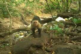The capuchins have been seen using rocks as tools