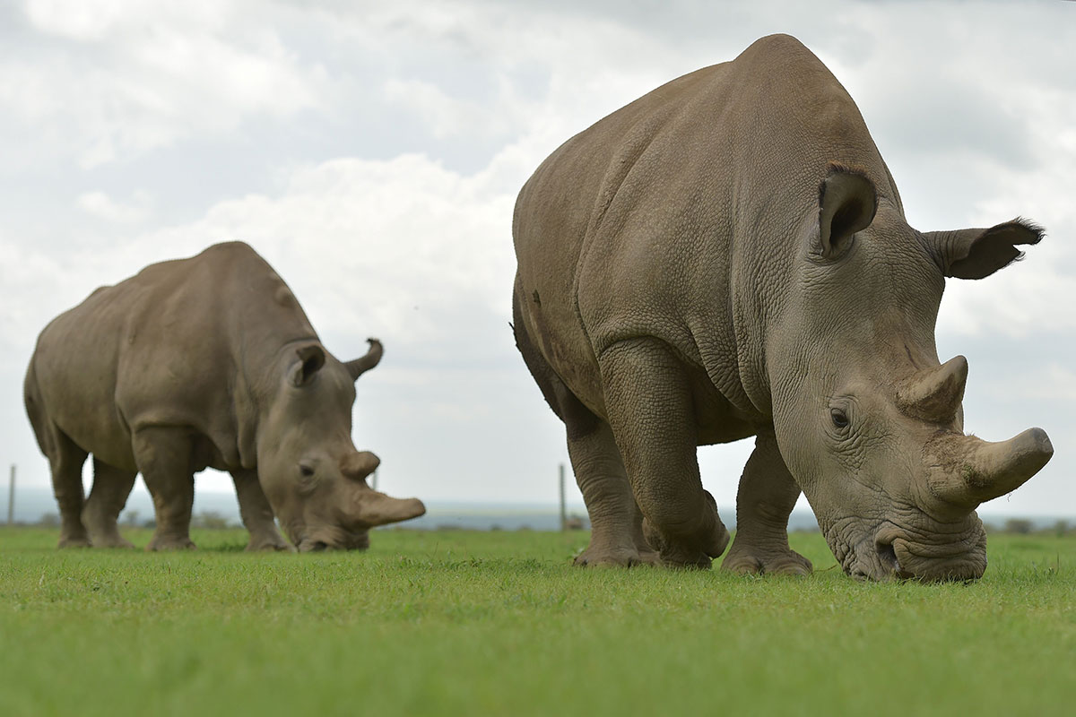 Najin (R) and Fatu are the only remaining northern white rhinos