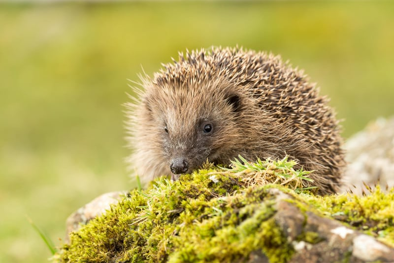 A close-up of a hedgehog