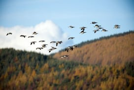 Barnacle geese are getting to the Arctic earlier to bag prime breeding spots