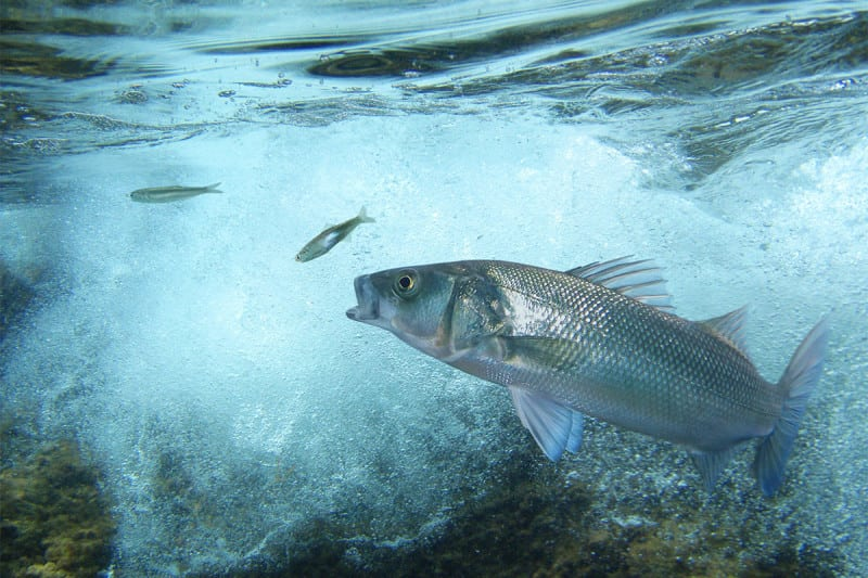 Fish will struggle to track prey in oceans that are more acidic
