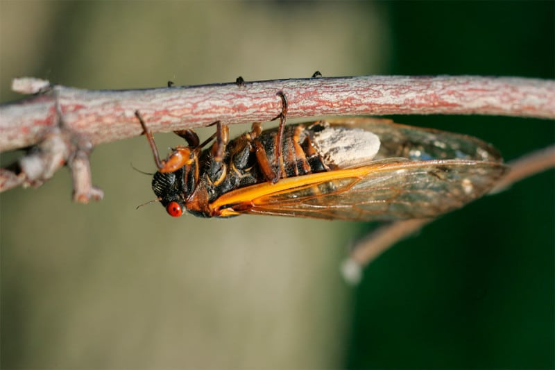 The cicadas become 'hypersexual' once infected