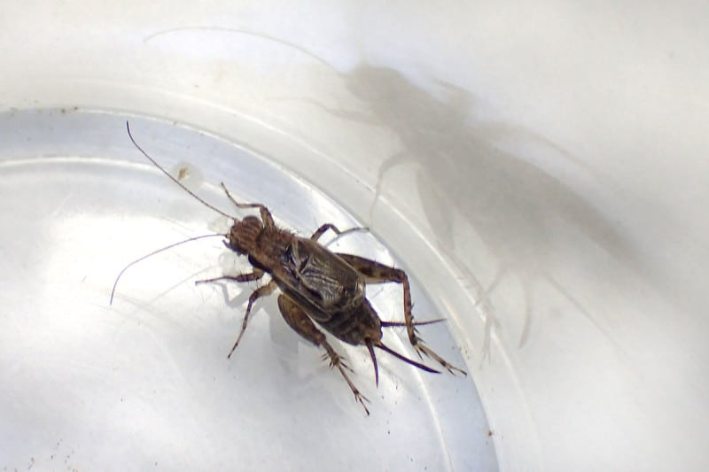 A close-up of the gynandromorph cricket