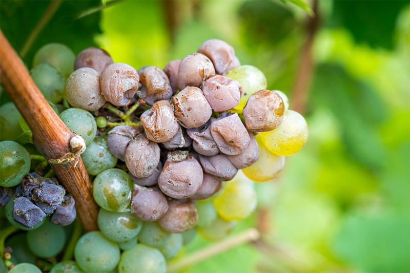 A waxiness on grapes can protect them from the fungus