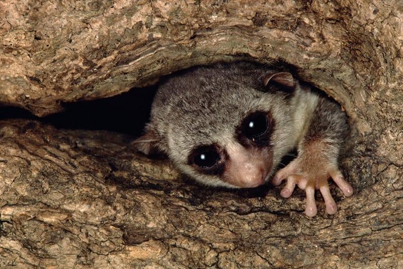 A fat-tailed dwarf lemur peeks out from a tree hole