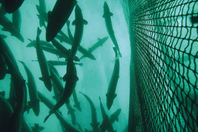 Salmon farms in Norway are monitored to prevent escapes
