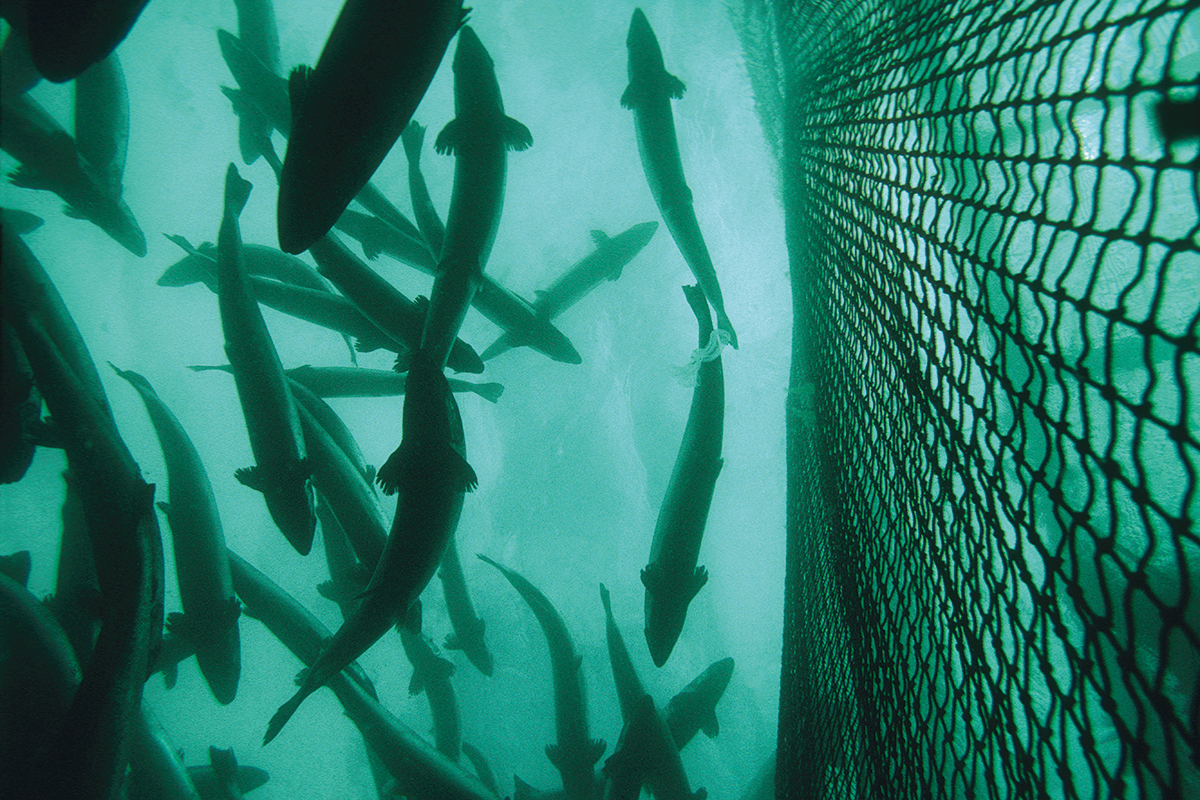 Sterile fish could help wild salmon dodge the...